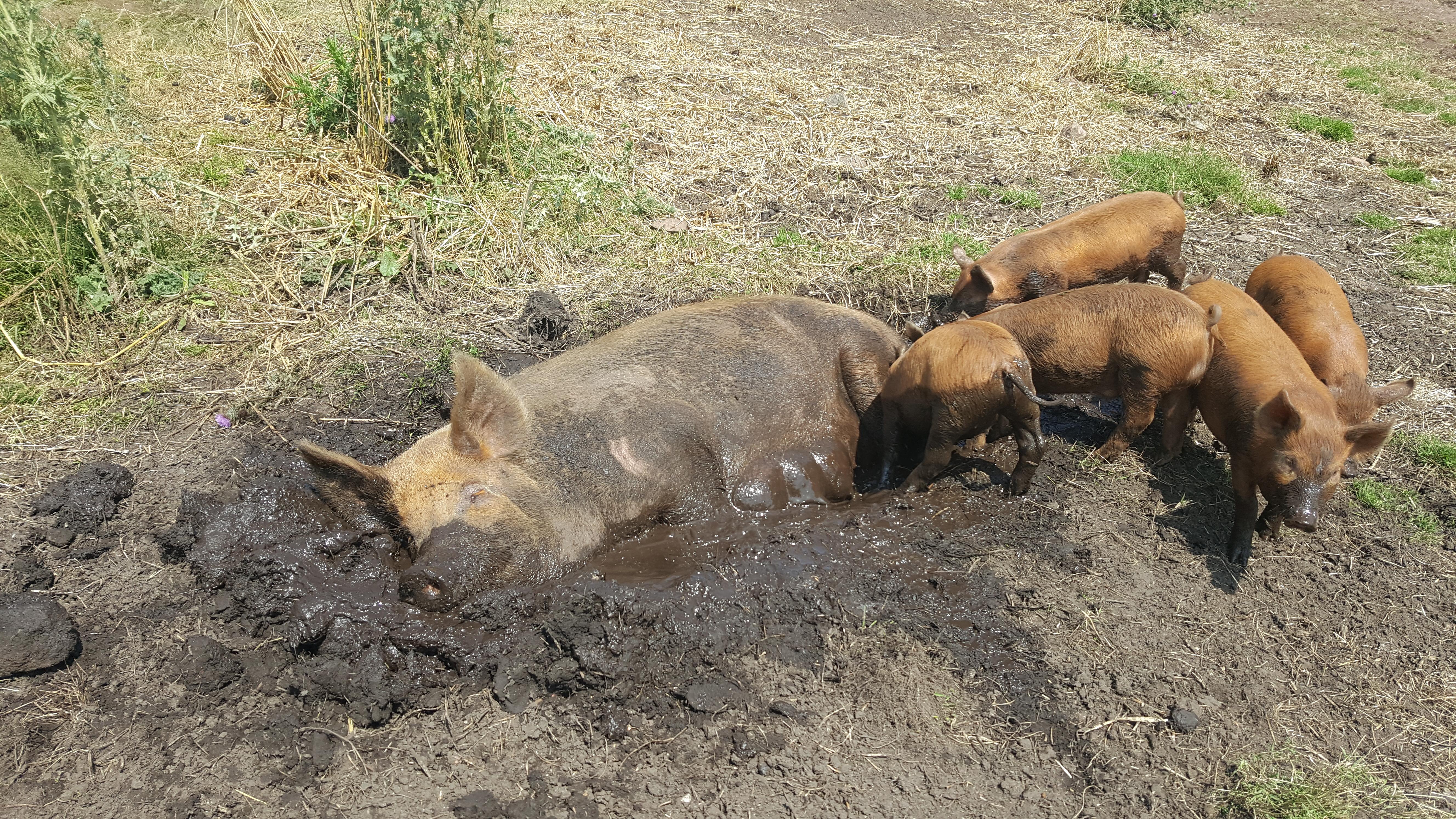 Why Tamworth Pigs Axeedge Co Uk